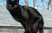 Tratar a su gato con imidcloprid medicamentos para pulgas como «Ventajas»