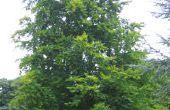 Identificación de árboles de haya