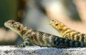 Construir un condominio de lagarto de patio