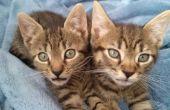 Cuidado de huérfanos gatitos