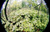 Cosechando natural podofilotoxina en su bosque local para el uso en el tratamiento de las verrugas genitales