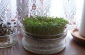 Crecer su propio germinados (brotes) la forma barata