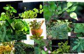 RECOGER plantas de AYURVEDIC