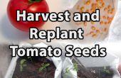 Cómo cosechar y plantar semillas de tomate