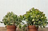 Plantas de Jade: Tan fácil de cuidar en el hogar y en el jardín de