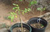 TRASPLANTE árboles de PECAN