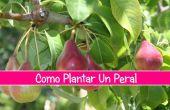 Como Plantar Un Peral