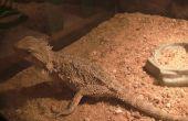 Cómo cuidar correctamente para un dragón barbudo