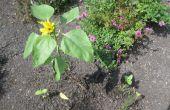 ¿Miracle Grow realmente afecta el crecimiento del girasol planta durante la germinación y las primeras etapas de crecimiento de la planta después de?