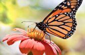 La mariposa monarca de ahorro
