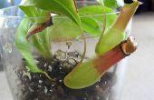 Simple y elegante planta carnívora terrarios