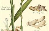 Cultivar jengibre como planta de interior