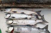 Cómo filetear un fresco capturados salmón