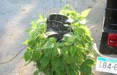 Cómo hacer crecer una Lima Vertical y haba verde huerto