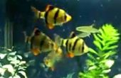 Cómo seleccionar el pescado adecuado para su acuario