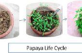 Cultivo de Papaya de semillas