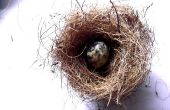 Nido y huevos de hacer un pájaro (Slideshow)