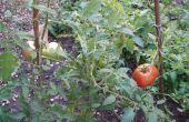 Cultivar tomates de semillas