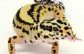 Cómo criar Geckos leopardo