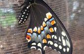 Swallowtail Butterfly incubación hábitat