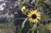 Cómo cosechar las semillas de girasol ornamentals