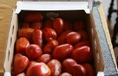 Cultivo de tomate de verano heladas