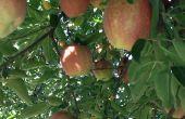Manzana crujiente en un tarro de masón