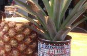 Iniciar una planta de Ananas