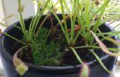 Drosera capensis - cultivo y cuidado