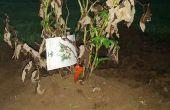 Plantar un arbusto frambueso