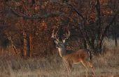 Cómo a ciervo caza