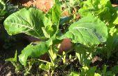 Como Berza Plantar En El Huerto