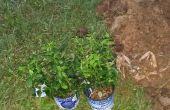 Plantar un arbusto de la baya azul