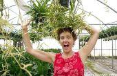 Plantas de araña: Cuidado fácil y duradero como puede ser
