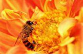Propóleos para usted, abeja Antibotics
