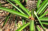 Cómo cultivar piña