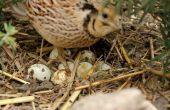 Planteó orgánicamente huevos de la codorniz coturnix broody y sentado.  Codorniz cubriendo sus óvulos Caille couve