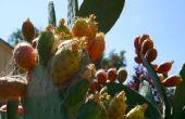 Cómo comer el nopal, también conocido como fruta de cactus, también conocido como atún