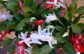 Cómo obtener tu Cactus de Navidad para flor otra vez