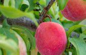 5 razones para entresacar una fruta árbol y cómo hacer todo para