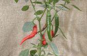 Caliente de 16 Consejos sobre cultivo de ají en un clima frío