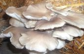 How to Grow Oyster Mushrooms (Low Tech)