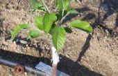 Cultivo de manzanos de semilla.