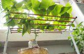 Cómo cultivar pepino en interiores