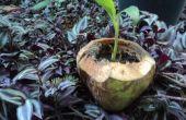 Cómo hacer una maceta de coco joven ecológico