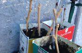 Enraizamiento de higos (y otros esquejes de madera dura)