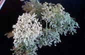Licor de flor de saúco