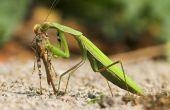Cómo criar a los Mantis religiosa bebé