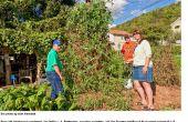 SELKE BIODINÁMICAS TOMATE CHERRY - la planta celestial tomate eso come basura terrenal (sobras de la mesa)
