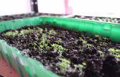 Crecimiento más rápido árbol - Empress (Paulownia Shantong) desde la semilla!